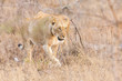 Lioness move in brown grass in afternoon to a kill