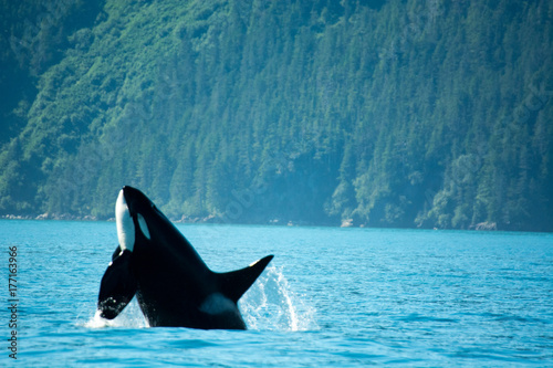 Orca Breach Canvas Print