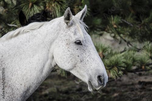 White Wild Horse. South Dakota