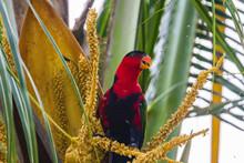 Black-capped Lory (Lorius Lory).  Raja Ampat, West Papua, Indonesia.
