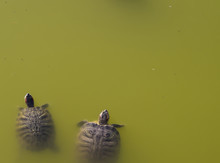 Two Water Turtles In Green Pol...