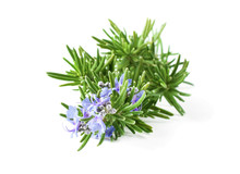 Blossoming Rosemary Plant Branch Isolated On White Background