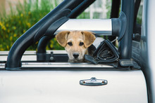 Brown Puppy In A Pickup Truck
