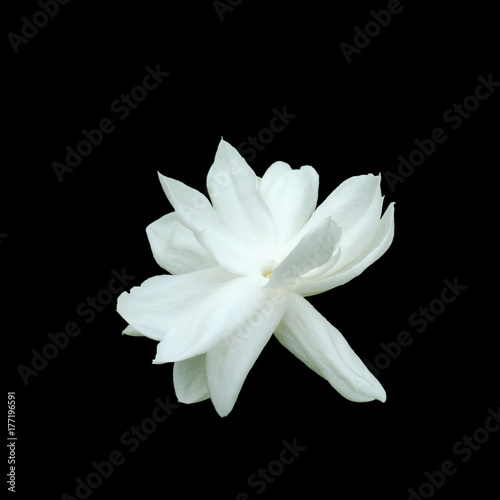 Jasmine Flower Isolated On Black Background.