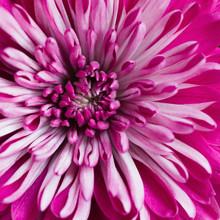 Macro Of Center Of Vibrant Pink Chrysanthemum Flower
