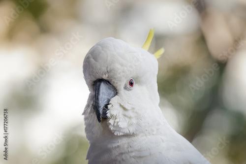 Photo Cockatoo