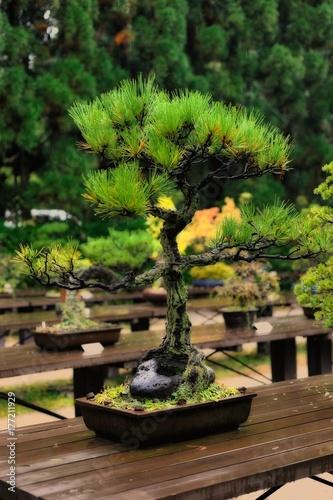 Foto op Aluminium Bonsai 盆栽