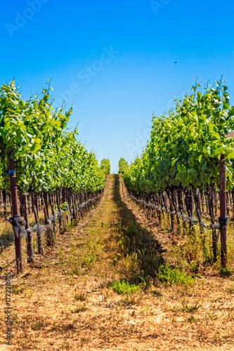 Fotografie, Obraz  Rows of vines in a Northern California vineyard in Napa Valley.