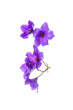 violet flowers isolated