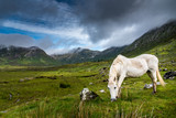 A Connemara pony  eats grass in the rain near a small road in Ireland