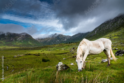 A Connemara pony  eats grass in the rain near a small road in Ireland Canvas Print