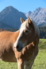 Beautiful portrait of a Haflinger mare in front of mountains