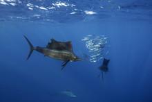 Atlantic Sailfish Hunting Sard...