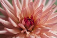 Peach Pink Dahlia Georgine