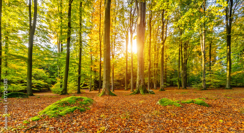 obraz lub plakat Beautiful autumn colored beech trees landscape