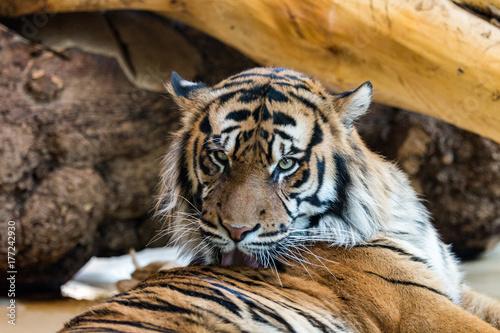 Fototapety, obrazy: Tiger bei der Fellpflege