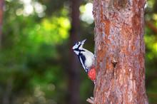 Woodpecker Sitting On A Tree