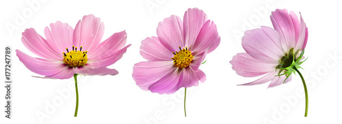 Cadres-photo bureau Univers Set of three pink Cosmos bipinnatus flowers with different perspective isolated on white background. Ornamental garden plant Cosmos bipinnatus close-up macro.