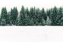 Spruce Tree Forest Covered By ...