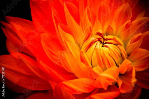 Orange, yellow and red flame dahlia fresh flower macro photo. Picture in color emphasizing the bright reddish colors with dark background.