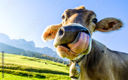 funny cow Canvas Print