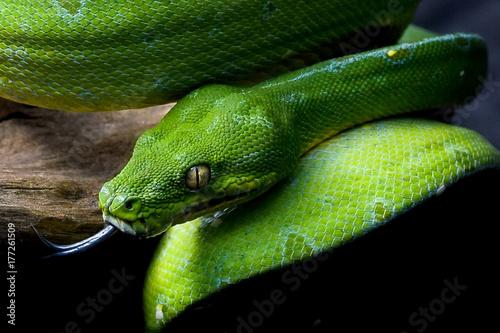 Valokuva Green Tree Python/ Chondropython azureus/ Morelia Viridis