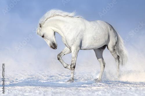 piekny-bialy-kon-biegajacy-w-snieznym-polu