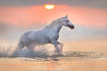 Panel Szklany Polecane White horse runs gallop through the water with spray at pink dawn