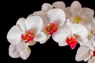 FototapetaPiekne białe storczyki