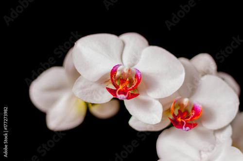 Fototapeta Piekne białe storczyki obraz