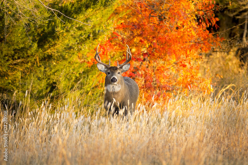 This Whitetail Buck was searching for doe along this very colorful tree line at sunrise on this late Autumn morning.