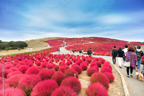 Red Kochia Scoparia Field In The Park Japan Buy This Stock