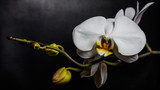 Fototapeta Orchid - Close up of white orchid