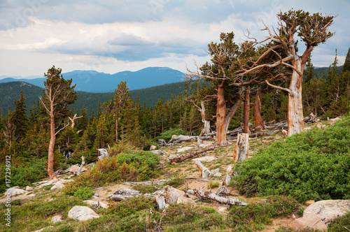 Foto Mt. Evans Bristlecone Pines