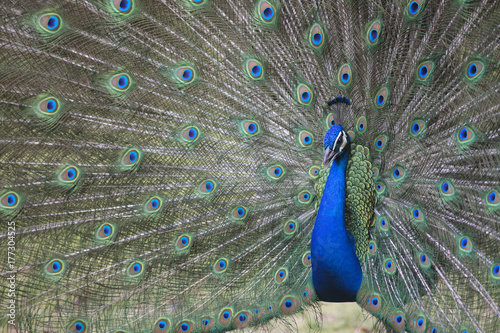 Sexual selection display in bird peacock