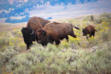Family Of Buffalo
