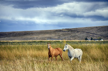 Horses In Field Under Approaching Storm