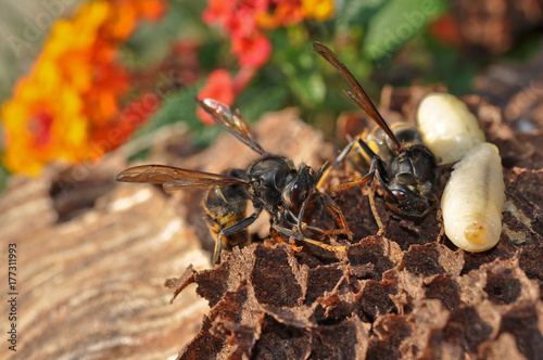 Photo  nid de frelons asiatiques