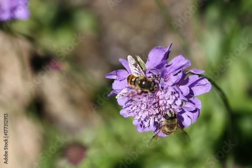 Fotobehang Lavendel api a lavoro