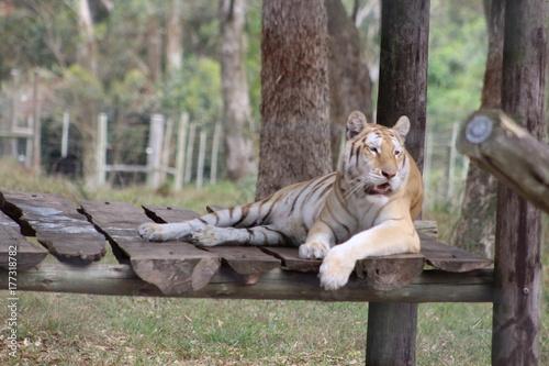 Zdjęcie XXL Tygrys