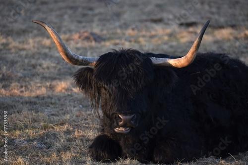 Keuken foto achterwand Schotse Hooglander Büffel