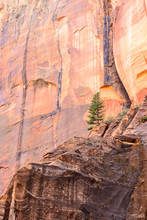 A Lone Tree Grows On The Cliffside In Zion National Park