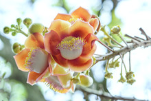 Blooming Cannon Ball Tree, Thi...