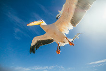 Pelican And Seagulls Flying On...
