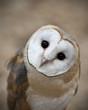 Curious Barn Owl Closeup Portrait