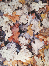 Pile Of Wet Oak Leaves In Autumn