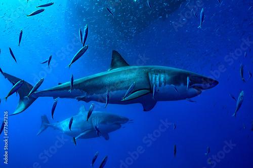 Obraz na dibondzie (fotoboard) Dwa duże wielkie białe rekiny pływają wśród szkoły sardynek pod łodzią w Guadalupe w Meksyku