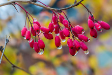 Ripe Red Berries Of Barberry In The Drops Of Rain Fall