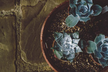 Three Little Potted Succulents...