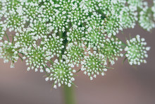 Macro Of Queen Anne's Lace Flower